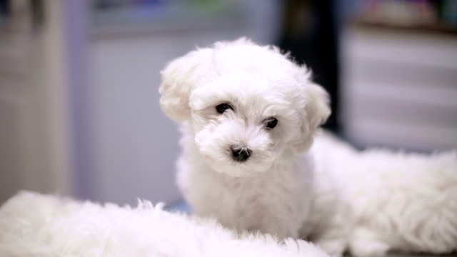 bichon cucciolo - bichon frisé video stock e b–roll