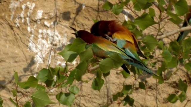 Bienenfresser-Merops apiaster Abelharuco - vídeo