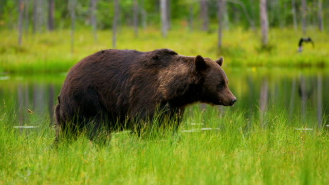 big adult brown bear walking and running free in the forest - bear stock videos and b-roll footage