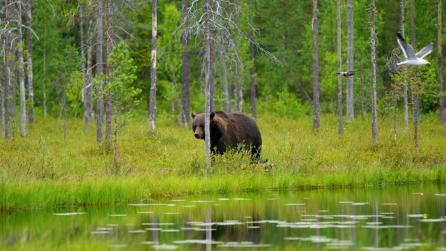 big adult brown bear walking free in beautiful nature - bear stock videos and b-roll footage
