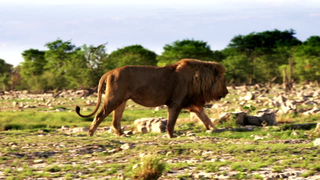 Big African Lion Big African Lion walking in the Etosha National Park, Namibia waterhole stock videos & royalty-free footage