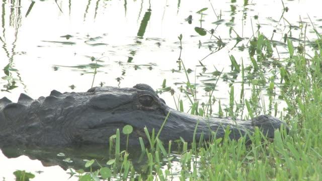 vidéos et rushes de big alligator 2 au 30f haute définition - partie du corps d'un animal