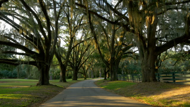 Big beautiful live oak avenue with spanish moss in summer SLOW MOTION: Big beautiful live oak avenue with spanish moss in sunny summer morning south stock videos & royalty-free footage