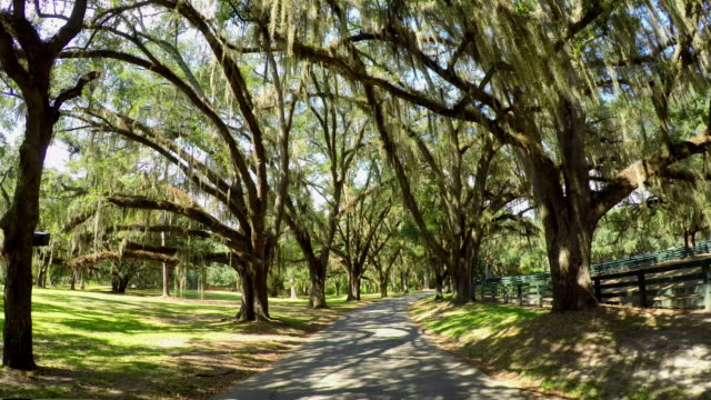 Big beautiful live oak avenue with spanish moss in summer SLOW MOTION: Big beautiful live oak avenue with spanish moss in sunny summer plantation stock videos & royalty-free footage