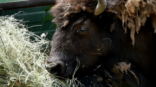 Big black bison lies and eats hay on a sunny day in summer in slow motion video
