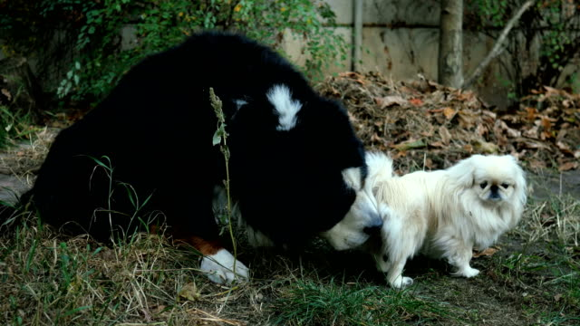 Big black dog Bernese Mountain Dog with interest sniffs and licks under the tail of small white pekingese dog. Big black dog Bernese Mountain Dog with interest sniffs and licks under the tail of small white pekingese dog. Close-up. Outdoors. videos of dogs mating stock videos & royalty-free footage