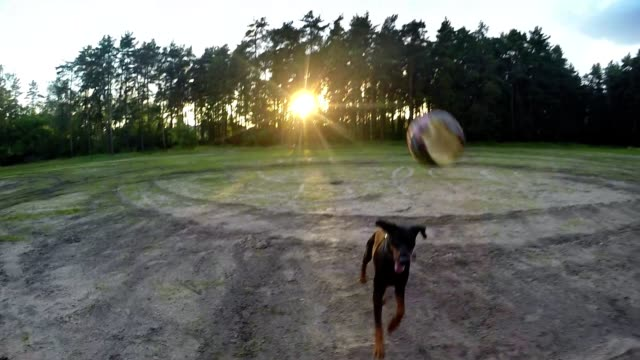 Big black dog Doberman on the fly catches the ball at sunset video