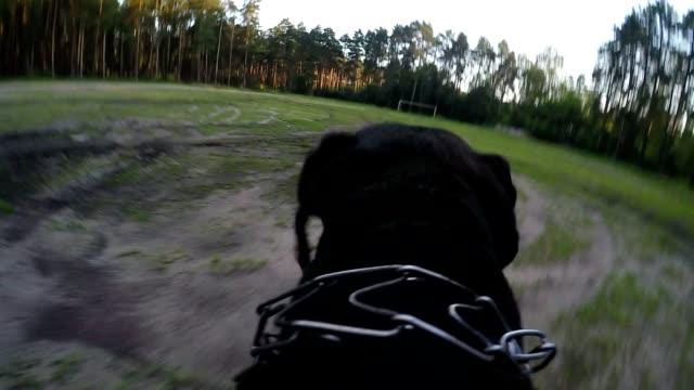 Big black dog runs with camera on back video