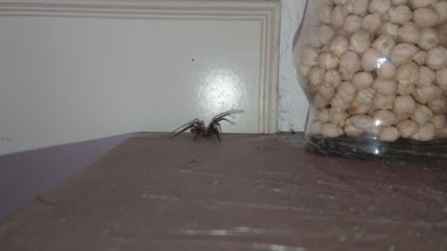 stor svart spindel i köket med spindelnät - spindel arachnid bildbanksvideor och videomaterial från bakom kulisserna