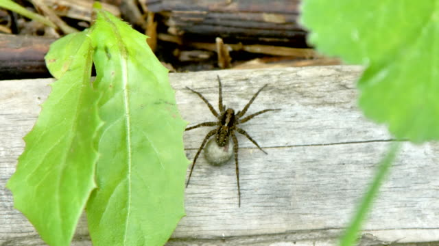 A big black spider on the wooden plank in the garden