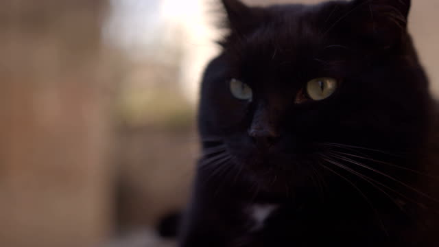big black dolce di gatto a riposo davanti alla macchina fotografica - baffo parte del corpo animale video stock e b–roll
