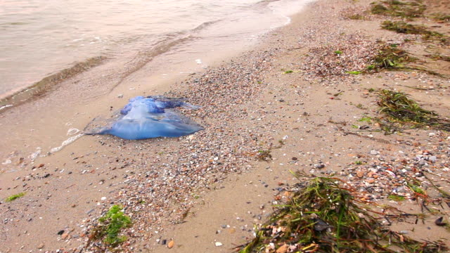 Big, blue, dead, jellyfish in shallow sea water. Carcass of dead huge blue jellyfish is washed up by the sea on sandy beach.Photo - JPEG video codec dead animal stock videos & royalty-free footage