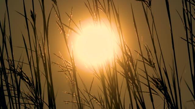 Big Bluestem Prairie Grasses With Sun video