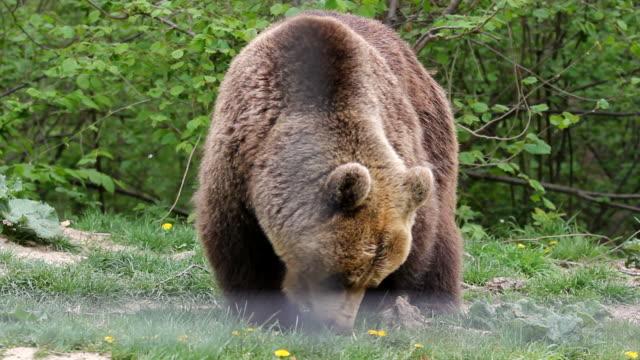 Big brown bear (Ursus arctos) feeding in the forest Big brown bear (Ursus arctos) feeding in the forest bear stock videos & royalty-free footage