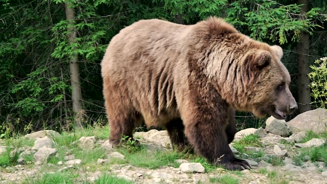 Big brown bear in the taiga
