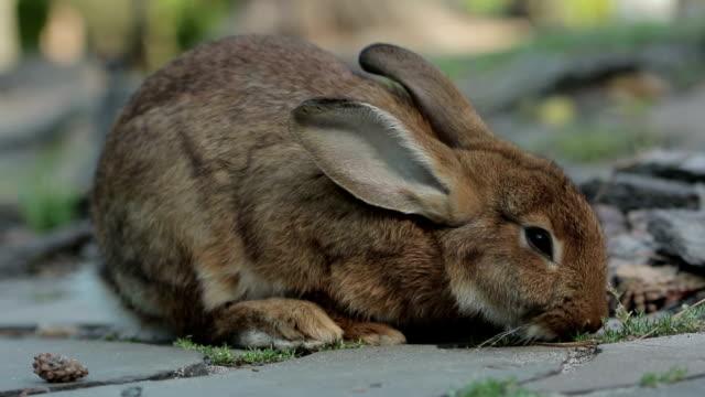 Big Brown Rabbit Feeds video