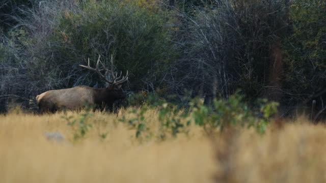 einen großen stier elch geht durch die bäume, hallten, wie er seine weibchen beobachtet. - elch stock-videos und b-roll-filmmaterial