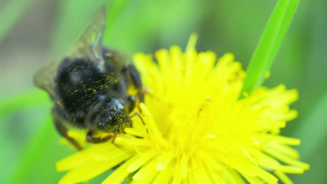 A big bumblebee collects sweat nectar on dandelion flower. Super macro UHD 4K video