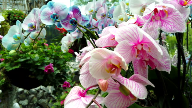 Big bunch of tropical blooming blue and pink orchid in the flower orangery.
