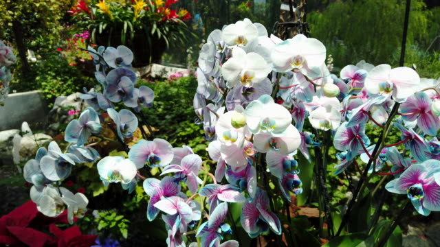 Big bunch of tropical blooming blue and white orchid in the flower orangery.