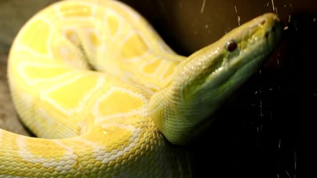 ビッグミャンマーのパイソン - ヘビ点の映像素材/bロール