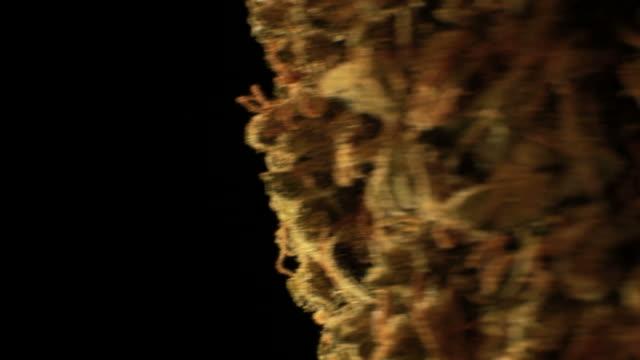 big cannabis bud rotating 2 video