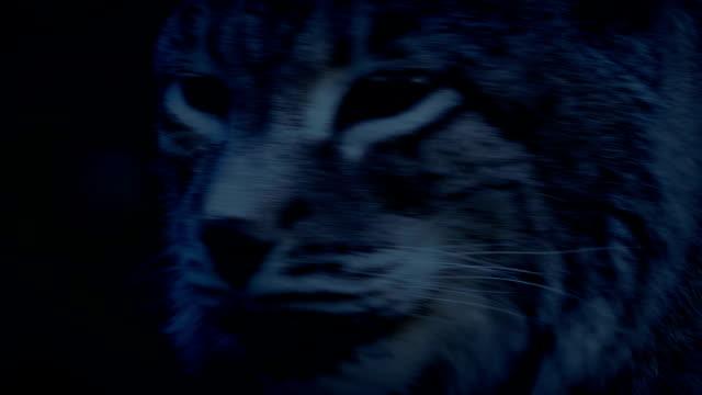 Big Cat Lynx In The Evening