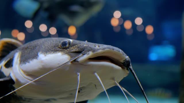 großer wels. phractocephalus hemioliopterus - ichthyologie stock-videos und b-roll-filmmaterial