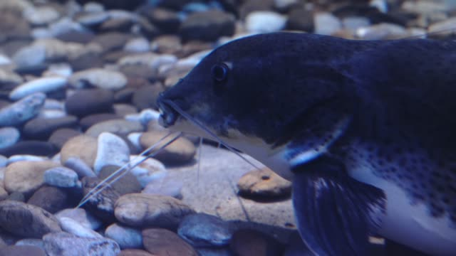große welse. phractocephalus hemioliopterus - ichthyologie stock-videos und b-roll-filmmaterial