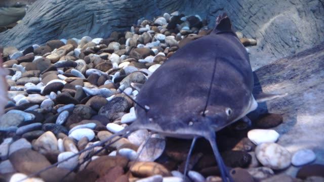 big catfish. phractocephalus hemioliopterus - siluriformes video stock e b–roll