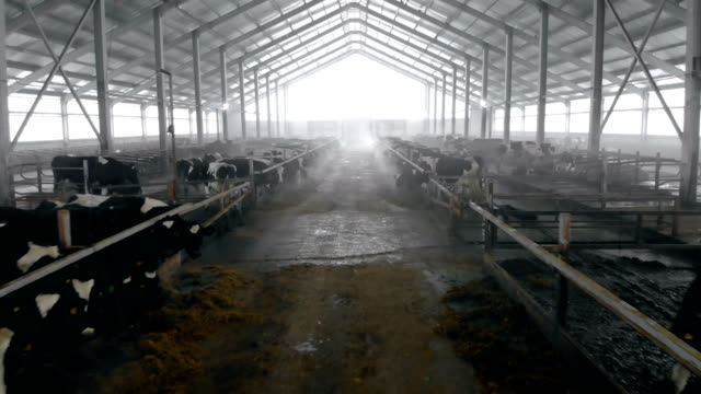 A big cowshed with cows, close up. Many cows standing in stalls in a byre. cattle stock videos & royalty-free footage