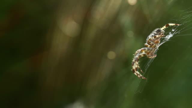 Big danger cross spider siting on spider web in wildlife video
