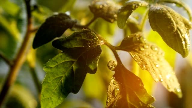 Big drops of rain roll on small leaves of a green twig on a sunny day in spring video