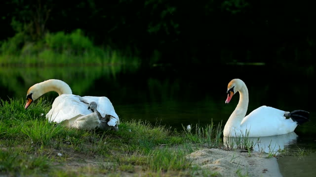 große familie weiße wilde schwäne - schwan stock-videos und b-roll-filmmaterial