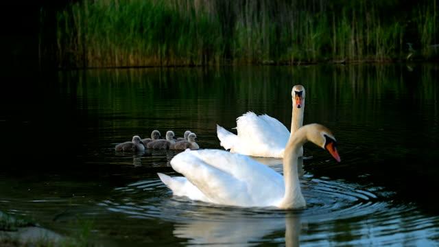 große familie weiße wilde schwäne mit kleinen entenküken - schwan stock-videos und b-roll-filmmaterial