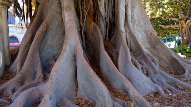 Big ficus in Valencia or banyan tree - is huge tree in Spain