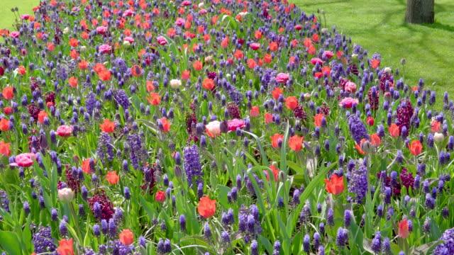 紫と赤の花の大きなフィールド - キューケンホフ公園点の映像素材/bロール