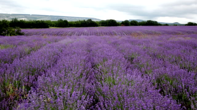 Big field of the blossoming lavender in cloudy day video