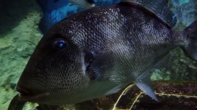 große fische im aquarium, nahaufnahme - aquarium oder zoo stock-videos und b-roll-filmmaterial