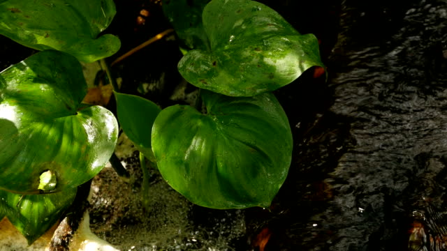 big green calla leaves with water droplets