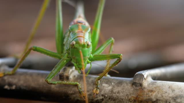 große grüne heuschrecke männlich - grashüpfer stock-videos und b-roll-filmmaterial