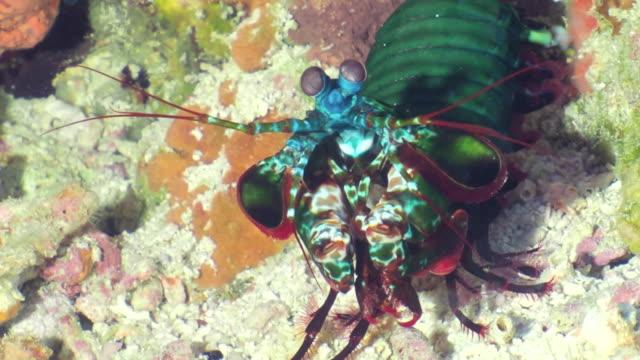 vidéos et rushes de une grande crevette verte de mante - animaux à l'état sauvage