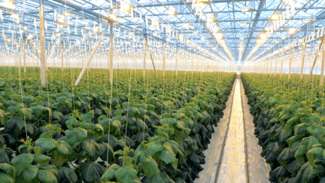 Big greenhouse with lots of plants. Many rows of cucumber plants in one greenhouse.