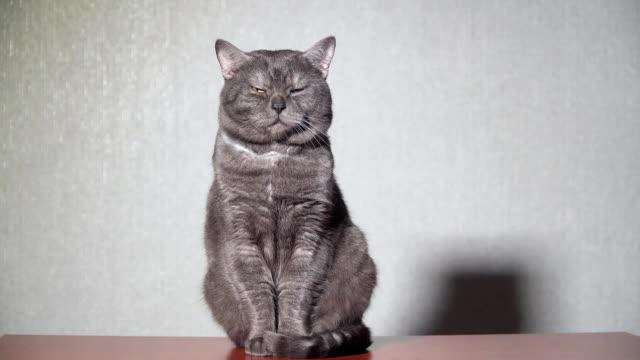 Stor grå katt sluter ögonen och viftar öronen video