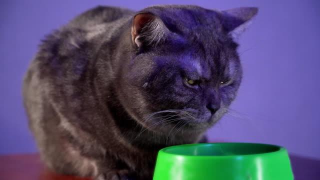 vídeos de stock e filmes b-roll de big grey cat refuses to eat spoiled food and turns away from bowl. close up - lata comida gato