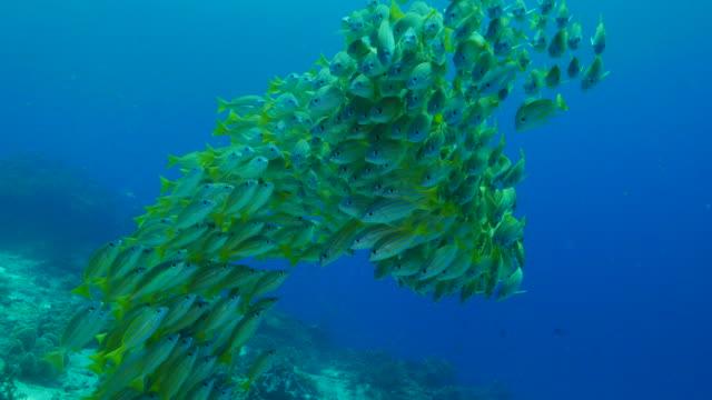 big group of bluestripe snapper fish (bluelined) - луциан стоковые видео и кадры b-roll