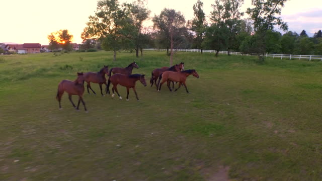 AERIAL: Big group of curious beautiful brown horses running on meadow field AERIAL, MOVING FORWARD AND BACKWARDS: Flying above numerous group of beautiful mares and gelding horses running and playing on vast meadow field on big horse ranch at stunning golden sunset corral stock videos & royalty-free footage