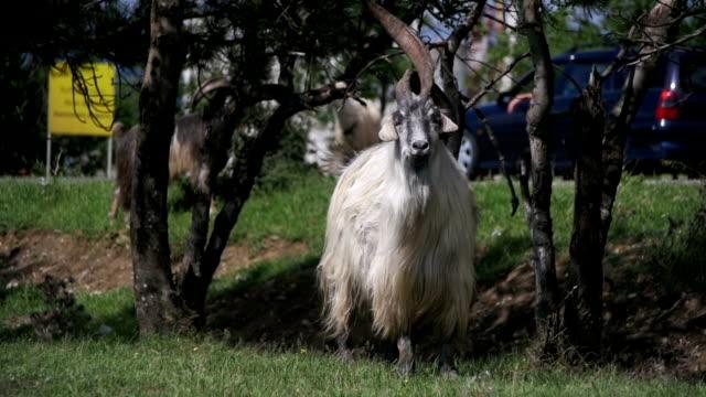 Big Horn Sheep Main Alpha Male Ram in Herd of Sheep Grazing in Field. Slow Motion video