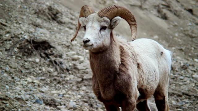 Big Horn Sheep video
