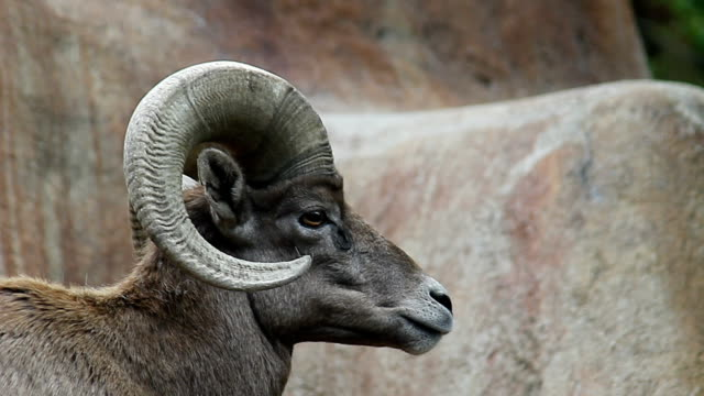 Big Horn Sheep video